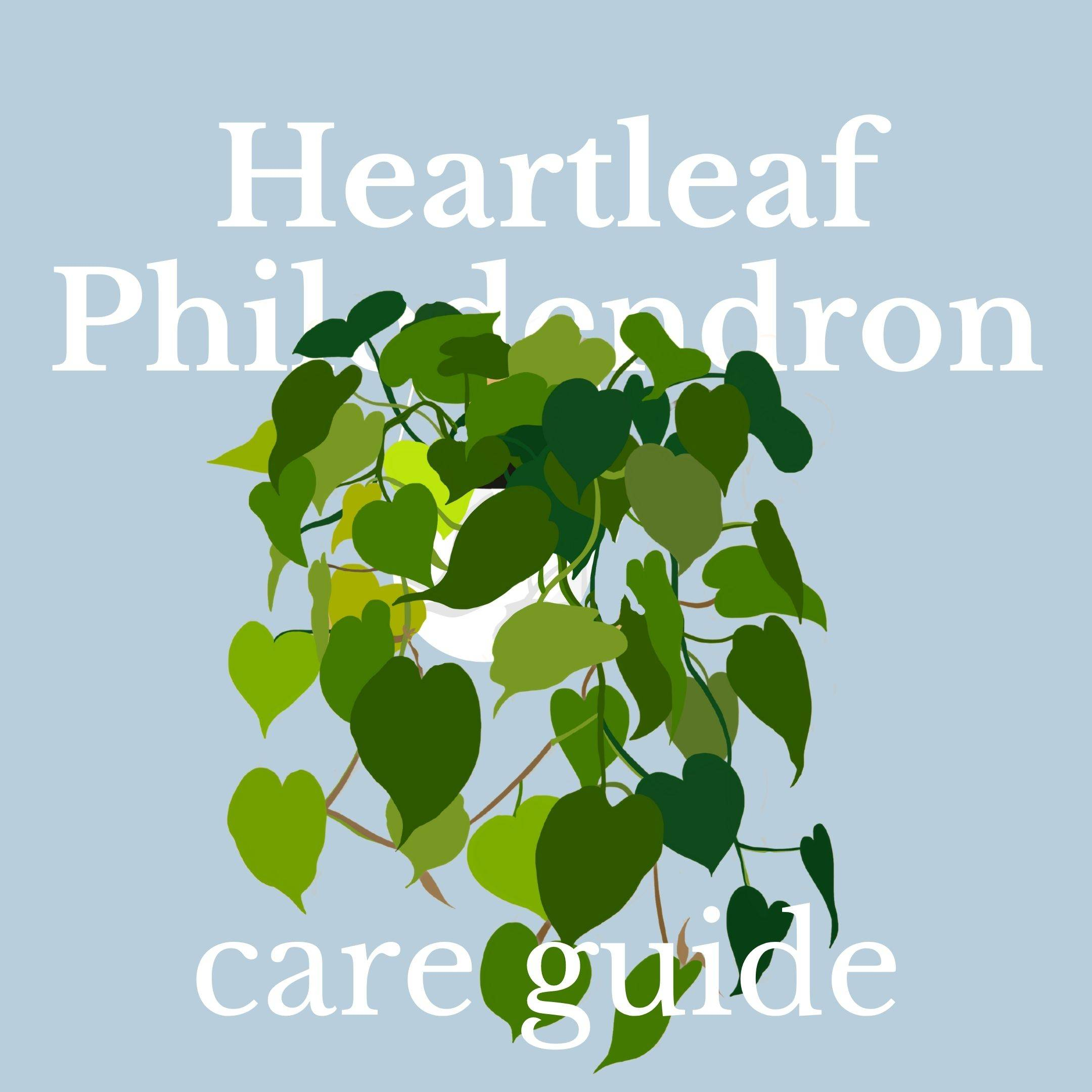 Drawing of heartleaf philodendron plant