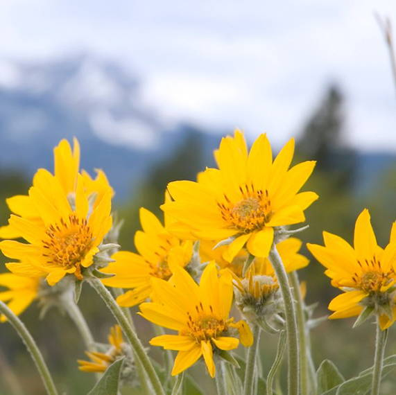 Arnica montana in the wild before harvested to create arnica cream, arnica gel, or arnica homeopathic medicine