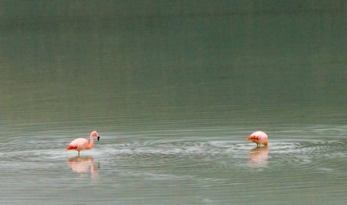 flamingos na lagoa de cor esverdeada