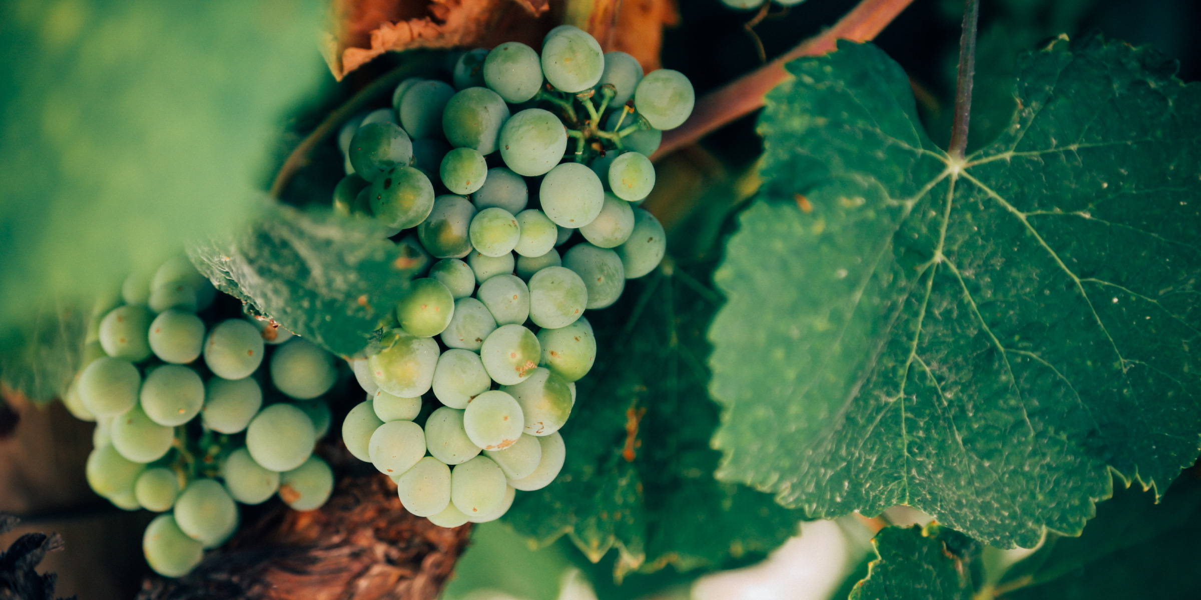 Grapes depicting the importance of supporting independent winemakers ensuring quality, contribute to local economies and helps small businesses.