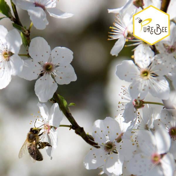 honeybee sucking nectar from a white flower