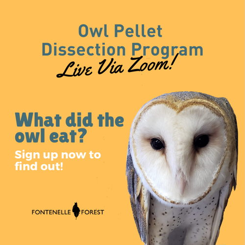 Picture of Learn all about owls and dissect a real owl pellet during this live Zoom event.