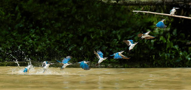 csling borneo collared kingfisher flight-sequence