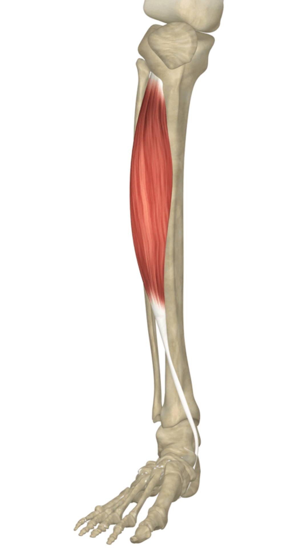 Tibialis anterior for anterior shin splints