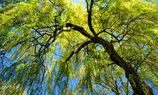 Salix Alba Extract Regulates sebum secretion and epidermis exfoliation