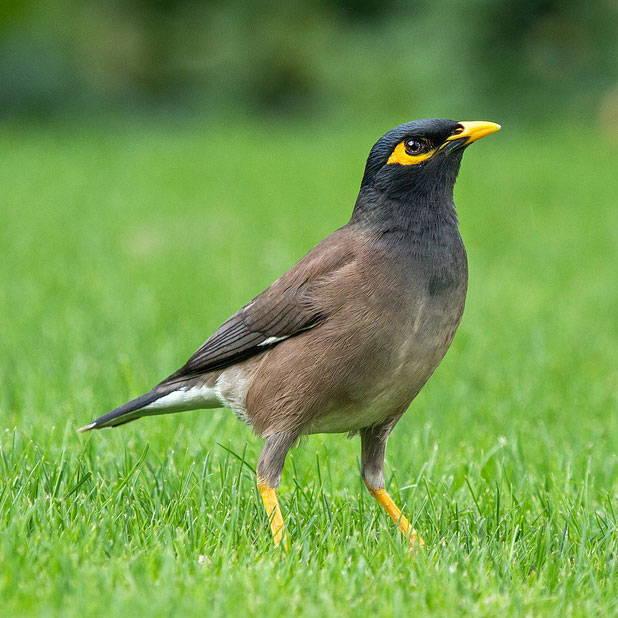 Topflite premium bird feed for myna birds