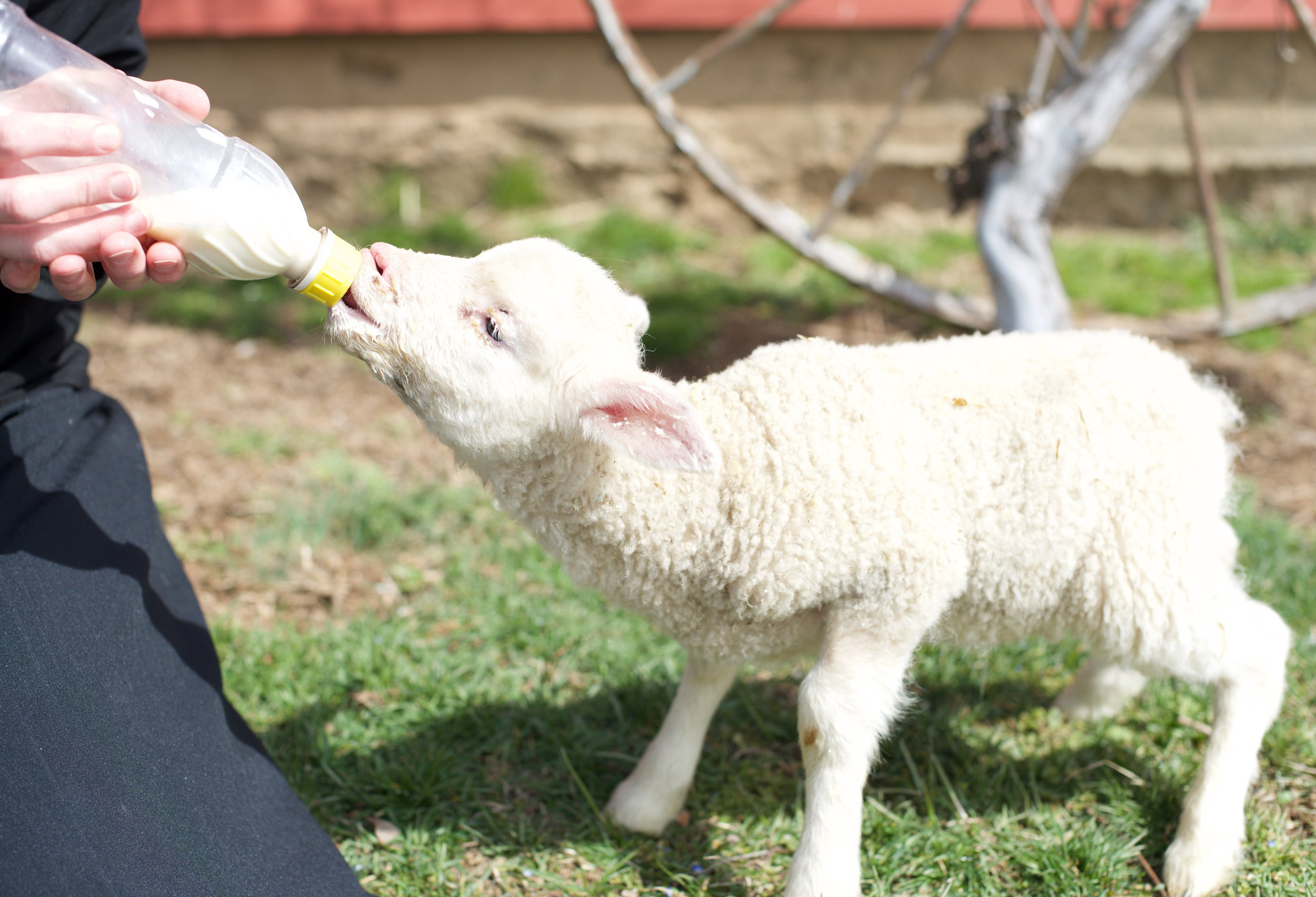 Feeding a baby lamb by bottle at Otterbein Acres Farm | Revittle