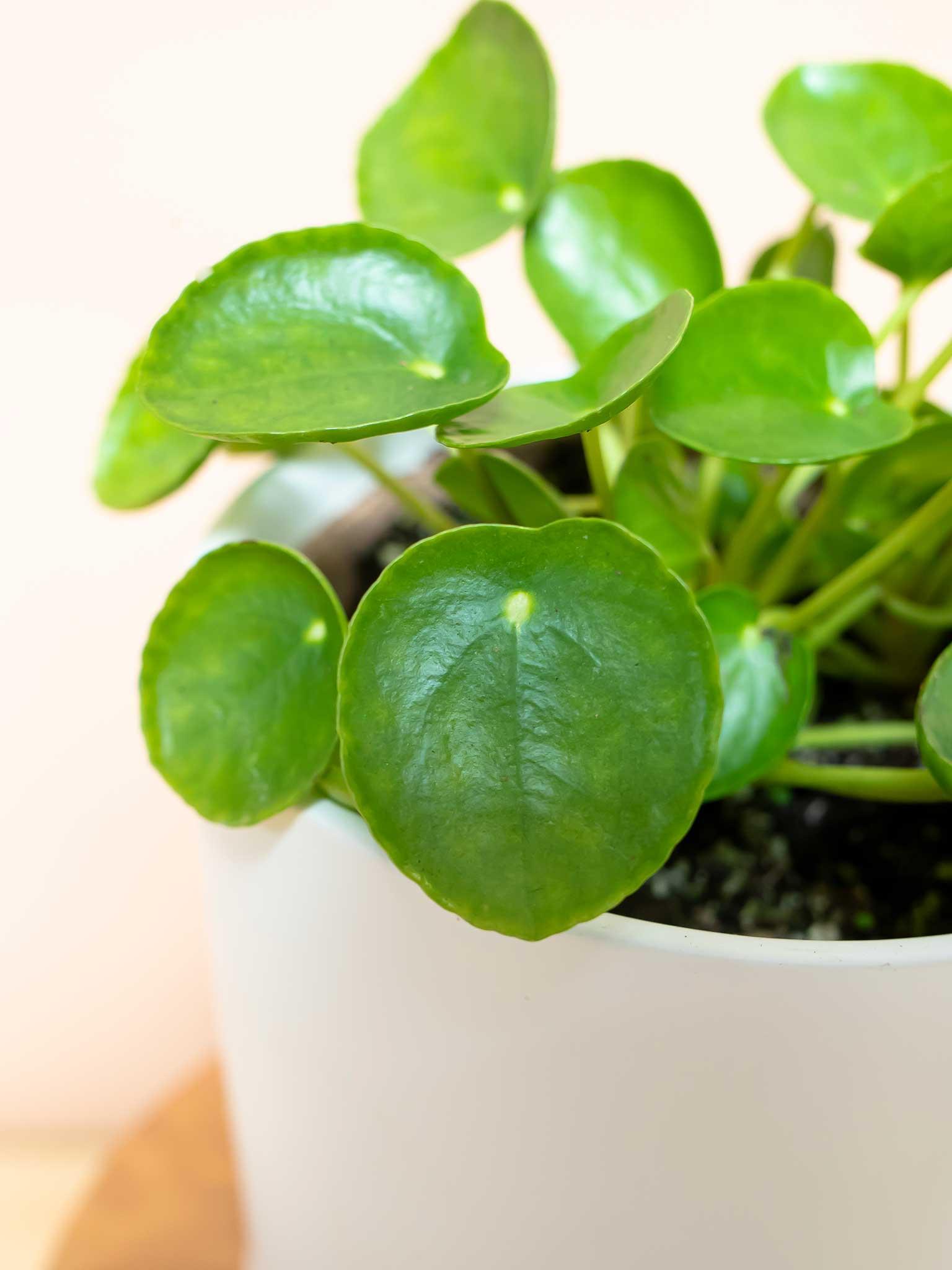 Pilea plant leaf
