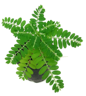 Totaldepura detox purificante detossinante depurativo naturale bio agolab nutraceutica integratore alimentare phyllantus