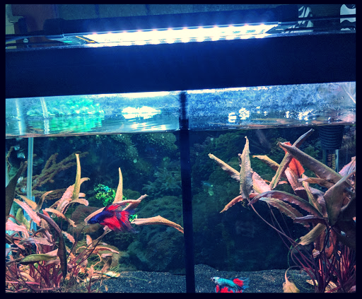 Double Betta 10 Gallon Tank