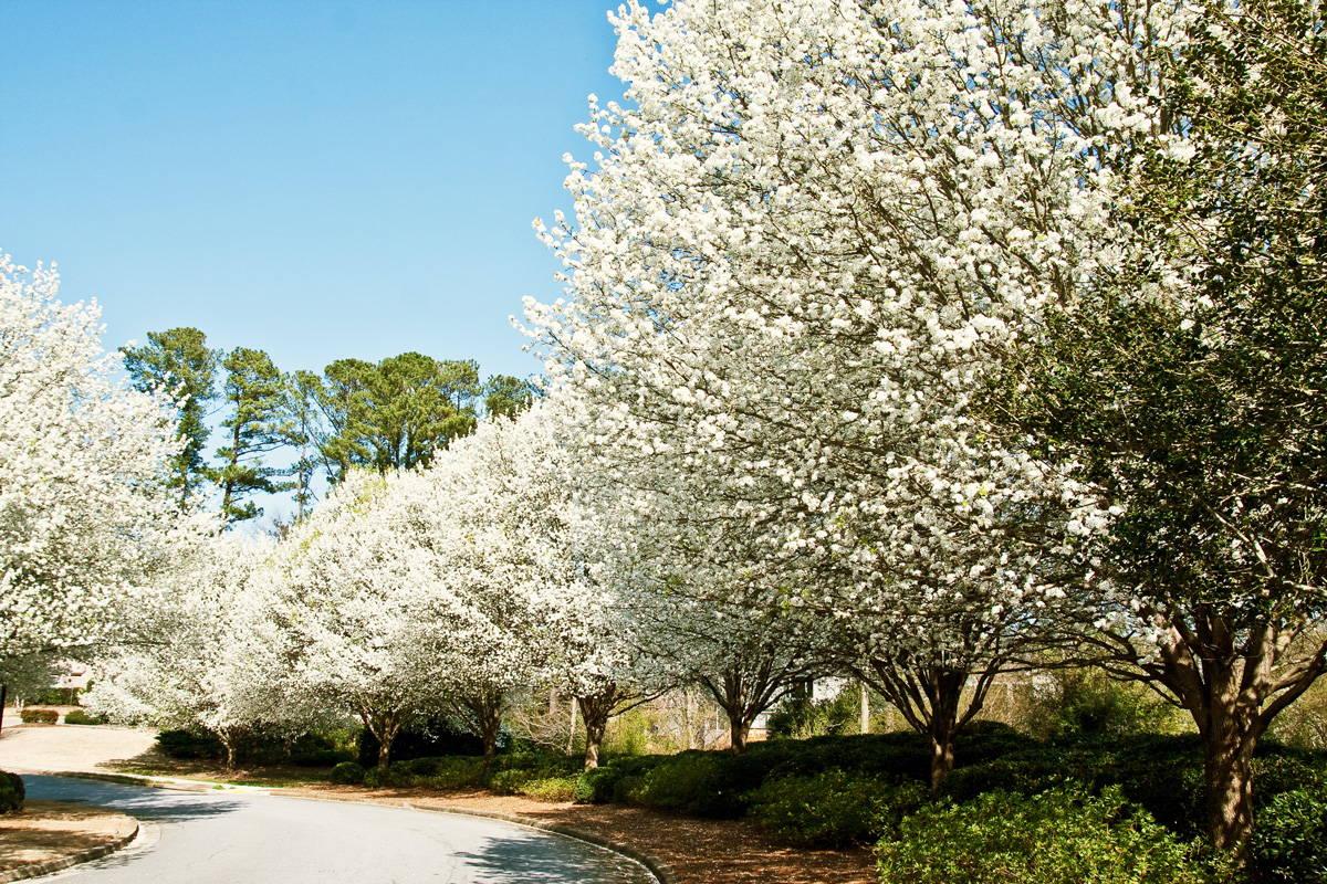 梨の木の花盛り