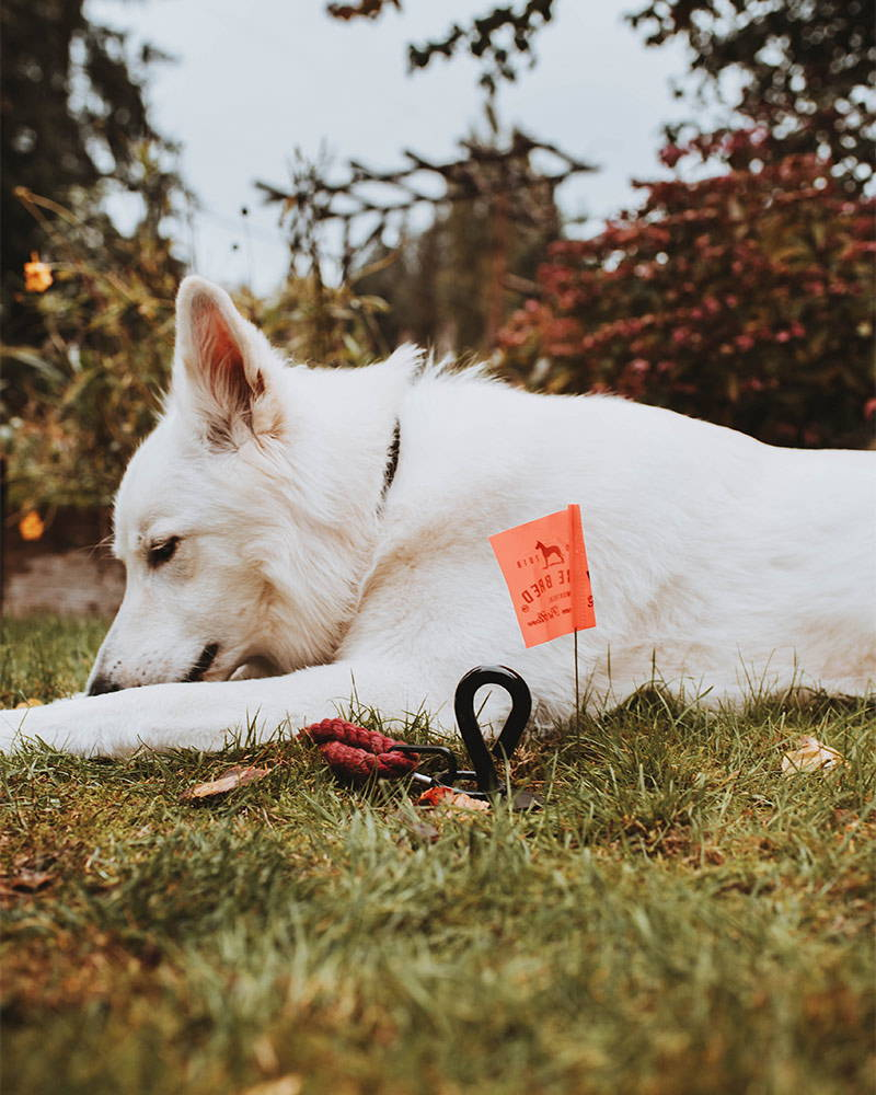 white shepherd in the yard tied to the gravity stake by saker