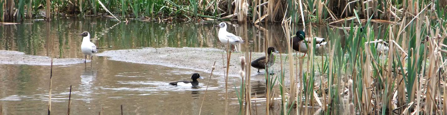 Птицы на прудах: Орехово-Борисово